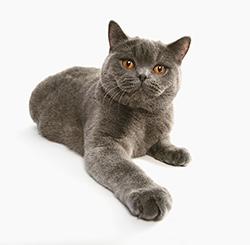 Gato pelo gris