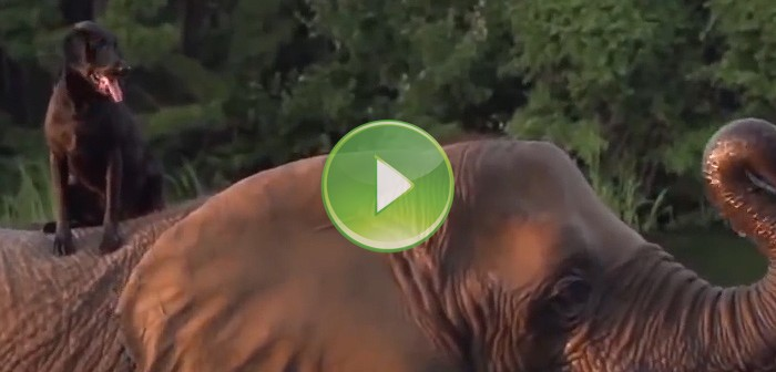 Vídeo de perra y elefante