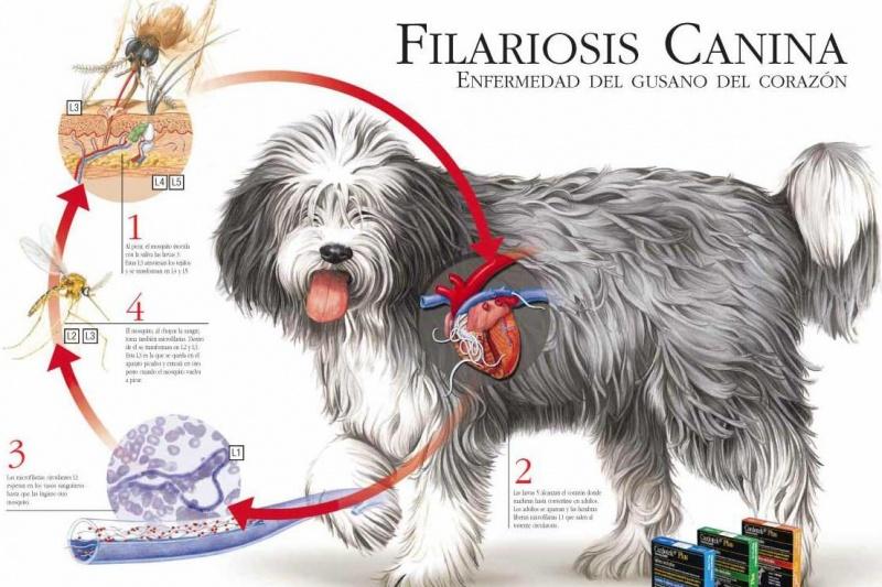filariosis-canina