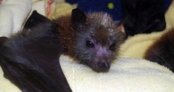 Bebé murciélago