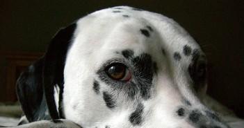 Perro apático