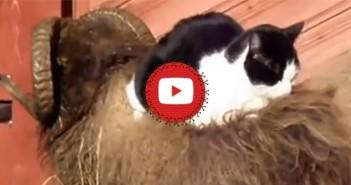 Gato sobre carnero