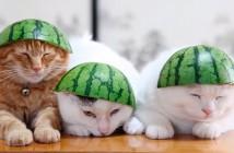 Gatos con sandía en la cabeza